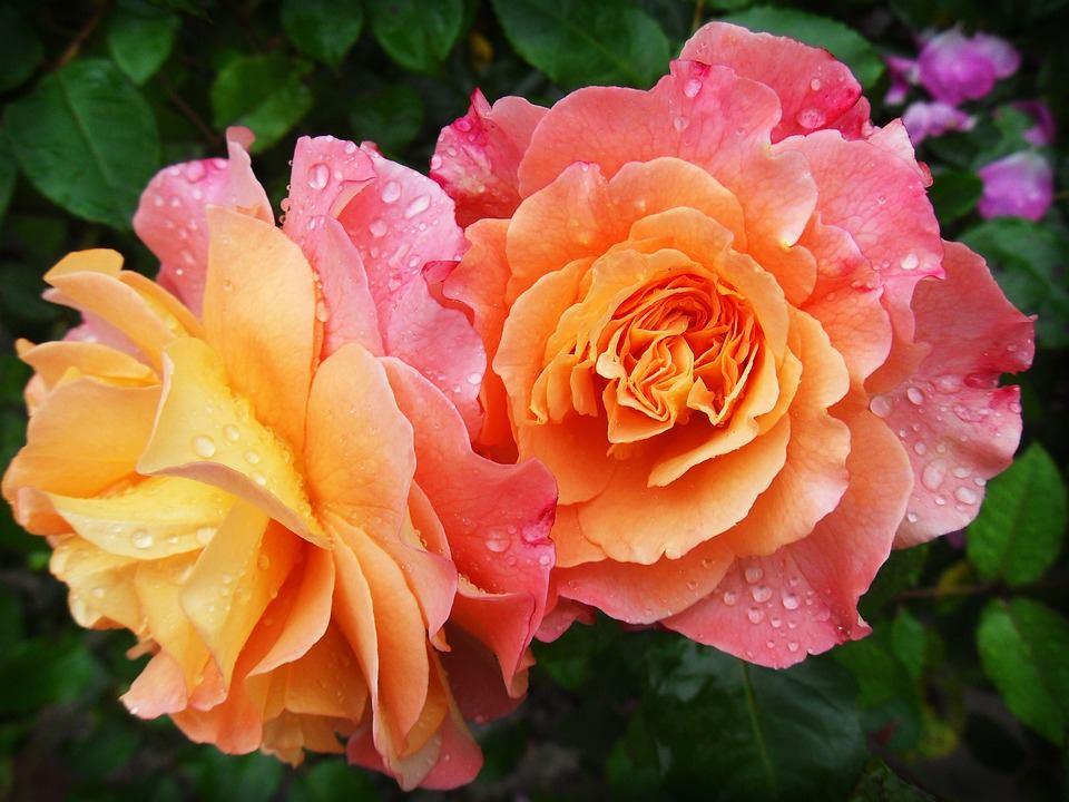 Lukovice cvijeća i najbolje ruže