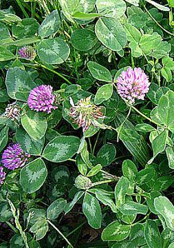 CRVENA DJETELINA-Trifolium pratense L.