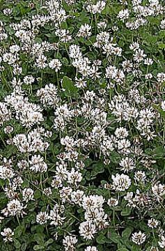 BIJELA DJETELINA-Trifolium repens L.