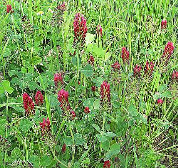 INKARNATKA- Trifolium incarnatum L.