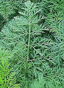 STOČNA MRKVA-Daucus carota L.