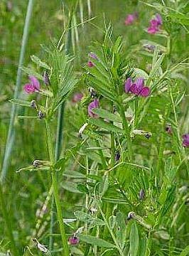GRAHORICA-Vicia sativa L. ;Vicia villosa L.